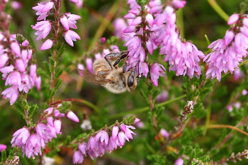 Naturmad i Nationalpark Thy – se bierne og smag honningen – NaturmadThy